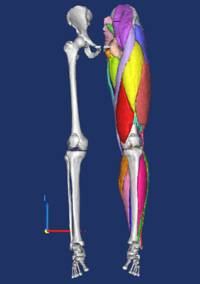 ERC BioMechTools: muscle segmentations. Orthopaedic Research Laboratory Nijmegen | Radboud University Medical Centre | radboudumc