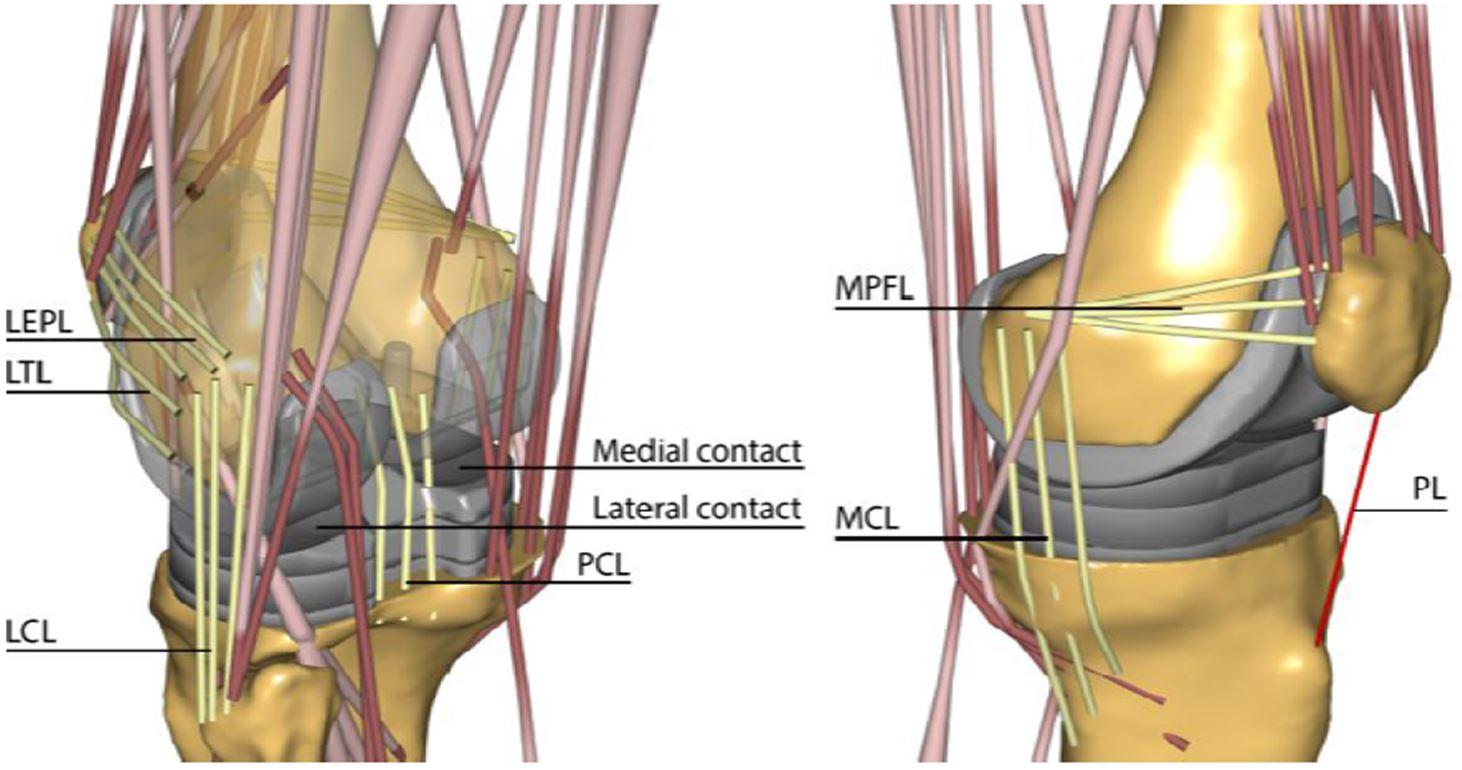 Example of a musculoskeletal dynamic knee model; Hans Dunning | Orthopaedic Research Laboratory Nijmegen, radboudumc, Radboud university medical centre